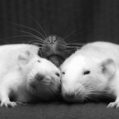 We miss our Buddy:( Dumbo rats are some of the coolest pets!