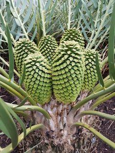 E.dolomiticus male cones  Dec.2016 Dec 2016, Noblesse, Pine Cones, Botany, Botanical Gardens, Palm Trees, Gardening, Plants, Palm Plants