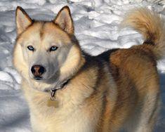 Husky siberiano | Mascotissimo