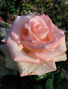 a beautiful rose with drops of rain. My Flower, Pretty Flowers, Flower Power, Beautiful Flowers Wallpapers, Beautiful Roses, Roses For Her, Chocolate Roses, Rose Of Sharon, Rose Pictures