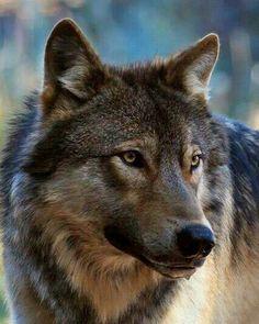 Pretty Wolf