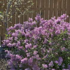 Reblooming lilac! Another great plant from my friends over @Proven_Winners  .
