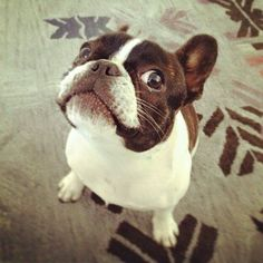 50 Adorable Reasons That 2013 Was The Year Of The French Bulldog Boston Terriers, Toy Fox Terriers, Boston Terrier Love, Terrier Puppies, Love My Dog, Cute Puppies, Cute Dogs, Bulldog Puppies, Dog Rules