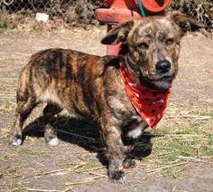Corgi Basset Hound mix @Lori George @Shianne Greenhill Basset Hound Mix, Corgi Mix, Salina Ks, Animal Snacks, Dog Cat, Pet Pet, Save Animals, Mixed Breed, Animal Shelter