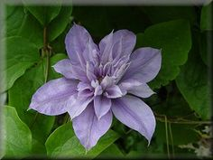 Clematis 'Lady Caroline Nevill'  (Zone 5 ~ Shade)