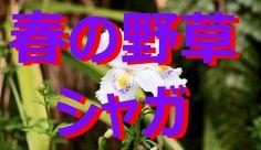 【富山散策】 春の野草 「シャガ」