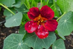 Less Noise, More Green, Edible Landscape Project: Night and Day Nasturtium, Tropaeolum majus, annual, edible flowers