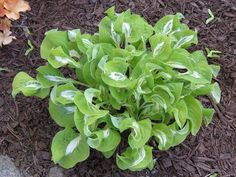 Hosta 'Royal Tiara'..The Hosta Cottage