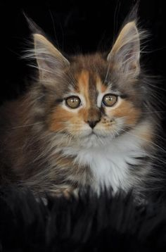 Maine Coon Kitten | Cattery Conikacoon | The Netherlands | www.kittentekoop.nl