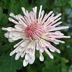 Chrysanthemum Indicum-Hybride 'Nebelrose' - Herbst-Chrysantheme