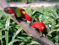 Yellow-backed Chattering Lory pair - endemic to North Maluku, Indonesia