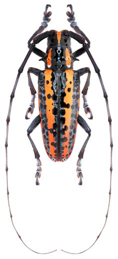 Deliathis flavis Beetle Insect, Beetle Bug, Insect Art, Weird Insects, Bugs And Insects, Longhorn Beetle, Beautiful Bugs, Animal Species, Weird Creatures
