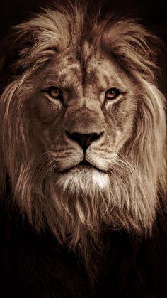 Lion Cub Tattoo, Cubs Tattoo, Lion Head Tattoos, Lion Wallpaper, Animal Wallpaper, Lion Sleeve, Dark Roses Tattoo, Black And White Lion, Lion Photography