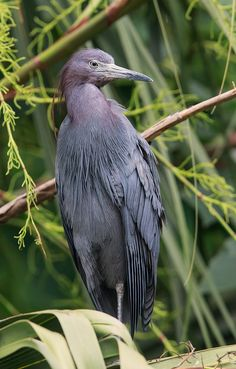 Little blue heron by Elizabeth  E.