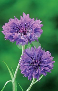 Centaurea cyanus 'Blue Boy' is a large-flowered cornflower in classic bright blue. This wonderful coloured bloom will continue for 2-3 months in the summer.
