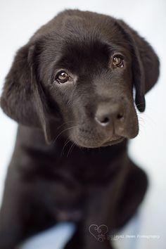 Labrador puppy Perth Pet Photography