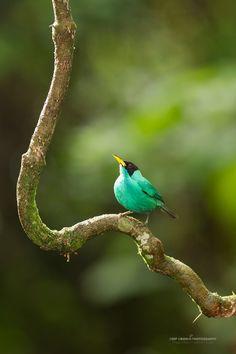 Green Honeycreeper – deepgreenphotography.com