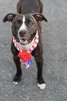 SAFE..Brooklyn Center LADY – A1075964 FEMALE, BLACK / WHITE, PIT BULL, 9 mos OWNER SUR – EVALUATE, NO HOLD Reason ABANDON Intake condition UNSPECIFIE Intake Date 06/01/2016, From NY 11433, DueOut Date06/04/2016