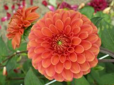 Orange fox  dahlia 90 cm