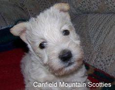 wheaten scottie puppy