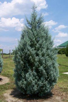 Arizona Cypress - Google Search