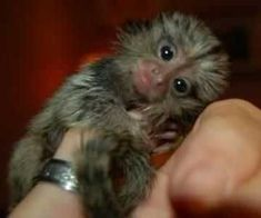 Look at those eyes, Who wouldn't love this ? Baby Monkey Pet, Tiny Monkey, Finger Monkey For Sale, Cute Funny Animals, Cute Baby Animals, Monkeys For Sale, Marmoset Monkey, Baby Animals Pictures, Animals Of The World