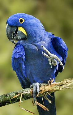 hyacinth macaw | cummah: Hyacinth Macaw
