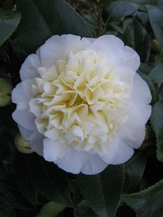 Camellia japonica 'Brushfield's Yellow' (Australia, by 1970)