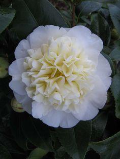 Camellia japonica 'Brushfield's Yellow' (Australia, by 1970)