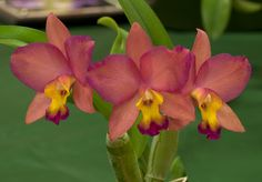 Cattleya Potinara | Recent Photos The Commons Getty Collection Galleries World Map App ...