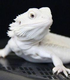 An albino bearded dragon. Oh so pretty!