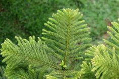 Can A Norfolk Island Pine Grow Outdoors – Planting Norfolk Pines In The Landscape Norfolk Pine, Norfolk Island, Go Outside, Houseplants, Cactus Plants, Plant Leaves, Herbs, Backyard, Canning