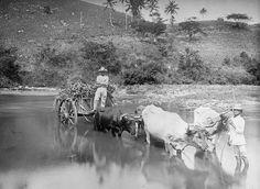 1909, jibaro y bueyes manati