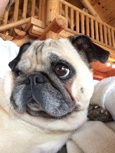 Pug selfie.