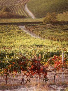 Vineyards Barbaresco Docg Piedmont Italy Canvas Art - Panoramic Images x Italian Vineyard, Piedmont Italy, Wine Vineyards, Regions Of Italy, Panoramic Images, Italian Wine, Wine Country, Italy Country, Canvas Art