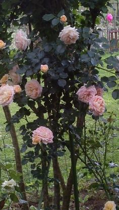 """Rosa Honeymoon ™Bred by Tim Hermann Kordes (Germany, 2002).  Introduced in Germany by W. Kordes' Söhne (Retail) in 2013 as 'Vanilla'.  Introduced in UnitedStates by Newflora™ LLC in 2015 as 'Honeymoon'.  Climber. Arborose® Collection.  White, light pink center. Mild fragrance. up to 50 petals. Average diameter 2.75"""". Medium, very full (41+ petals), borne mostly solitary, in small clusters, old-fashioned bloom form. Blooms in flushes throughout the season. Pointed, ovoid buds."""