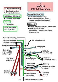 = = 34 Instant Anatomy - Head and Neck - Nerves - Cranial - X (Vagus) Dental Anatomy, Gross Anatomy, Medical Anatomy, Nerve Anatomy, Anatomy Study, Medicine Notes, Vagus Nerve, Cranial Nerves, Human Anatomy And Physiology