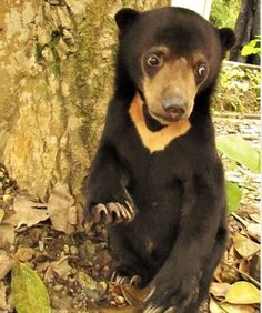 From Illegal Pet Trade Victim to Sanctuary Resident: Meet Rescued Sun Bear Natalie (PHOTOS)
