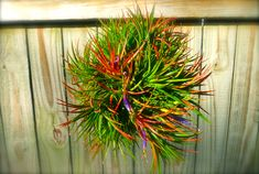 Give Your Air Plant Clump A Head Start - Craft Organic