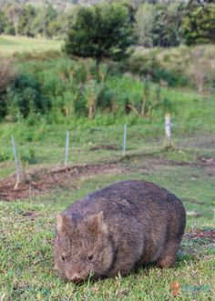 See wombats in Kangaroo Valley, Australia