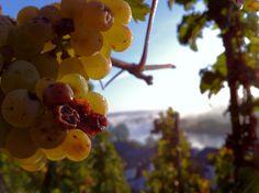 Riesling Vineyards in Kesten/Mosel river (Germany)