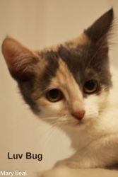 Dexter & Luv Bug is an adoptable Calico Cat in Prescott, AZ. Dexter & Luv Bug's Contact Info *** Questionnaire *** If you would like to meet Dexter & Luv Bug, please download the questionnaire, fill i...