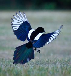 Magpie Landing by Chris Homan
