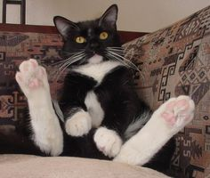 tuxedo cats with mustaches - Google Search
