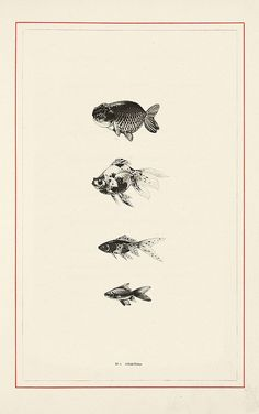 New natural history illustration fish Ideas Carpe Koi, Motifs Animal, Kunst Poster, Art Et Illustration, Fish Art, Grafik Design, Natural History, Art Drawings, Artsy