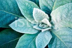 Green Nature Plant Background, Mullein or Velvet Plant royalty-free stock photo
