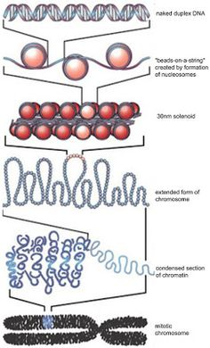 Biology 11: Topic 11: Cell cycle, DNA replication, mitosis and meiosis
