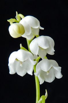 .love delicate lily of the valley