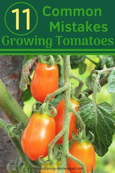11 COMMON MISTAKES made when GROWING TOMATOES. If you don't know about them it can lead to disaster or fail. Learn how to fix these common mistakes made when growing tomatoes and grow lots of tomatoes Tips For Growing Tomatoes, Growing Tomato Plants, Growing Tomatoes In Containers, Growing Vegetables, How To Grow Tomatoes, Permaculture, Best Tasting Tomatoes, Tomato Farming, Olive Garden