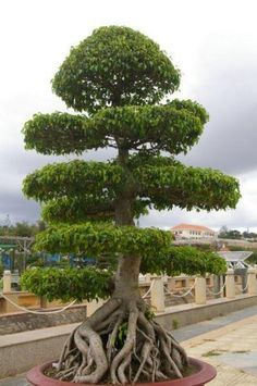Bonsai is the art of dwarf potted trees. Generally speaking, is considered the maximum height for a bonsai. This looks bigger but is still a potted, trained tree. Trees And Shrubs, Trees To Plant, Weird Trees, Mini Bonsai, Old Trees, Unique Trees, Nature Tree, Nature Nature, Tree Forest